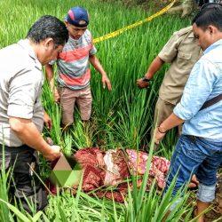 Warga Pekon Srikaton Digegerkan Temuan Mayat Wanita di Sawah