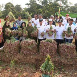 Plt Bupati Lampung Timur Hadiri Panen Bawang di Batanghari